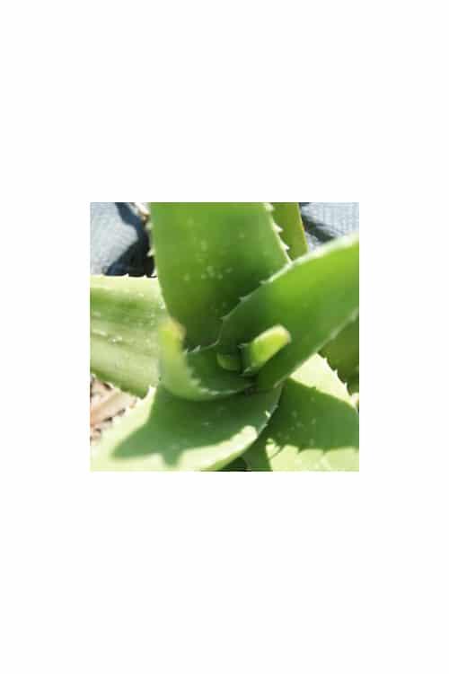 Aloe-Aloe-vera