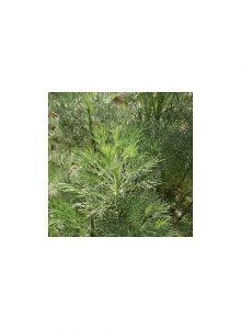 Artemisia-branca