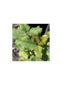 Azevinho-Ilex-aquifolium