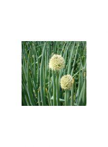 Ceboleta-de-franca-Allium-fistulosum
