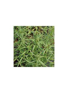 Estragao-Artemisia-Dracunculus