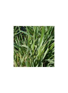 Feno-de-cheiro-Anthoxanthum-odoratum