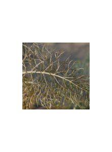 Funcho-purpura-foeniculum-vulgare-purpureum