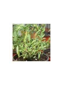 Hissopo-Hyssopus-officinalis1