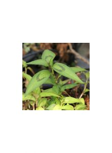 Hortela-vietnamita-Polygonum-odoratum-ou-Persicaria-odorata