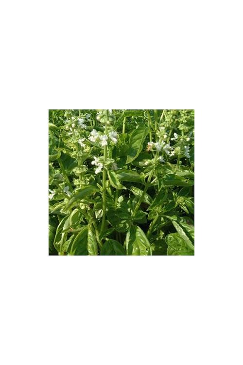 Manjericao-ocimum-basilicum (1)