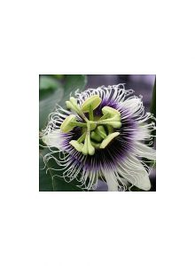 Maracuja-passiflora-edulis
