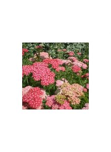 Milfolio-achillea-millefolium