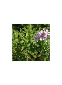 Pelargonio-Graveolens-pelargonium-graveolens