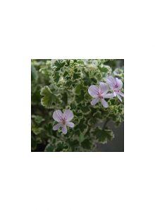 Pelargonio-limao-variegado-pelargonium-crispum-variegatum