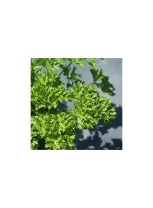 Salsa-crispada-Petroselinum-crispum