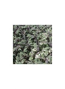 Salva-Tricolor-salvia-officinalis-tricolor