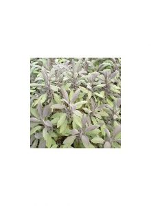 Salva-purpura-salvia-officinalis-purpurascens