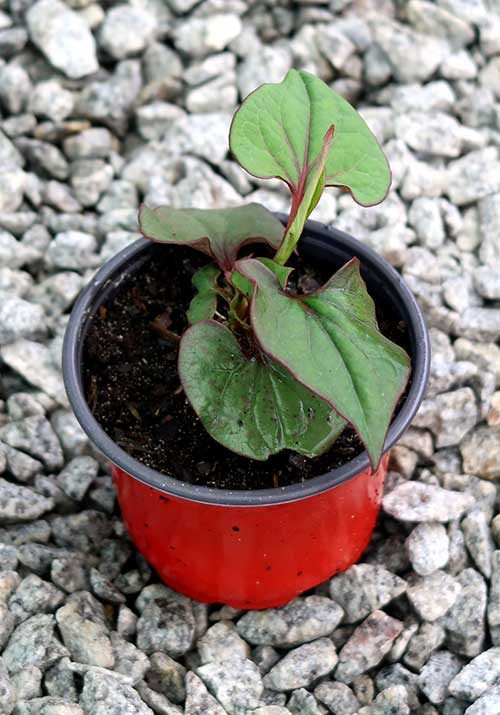 Erva-camaleão