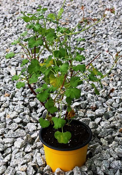 pelargonio-folha-pequena