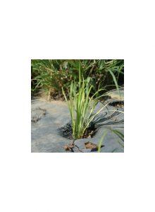 plantas-bio-acorus2