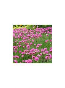plantas-bio-armeria-maritima1