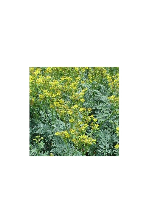 plantas-bio-arruda