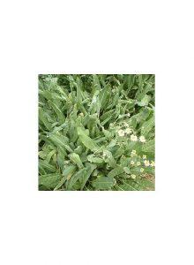plantas-bio-balsamita