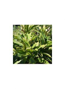 plantas-bio-cardamomum