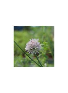 plantas-bio-cebolinho1