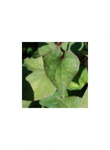 plantas-bio-erva-camaleao1