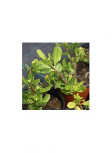 plantas-bio-escallonia
