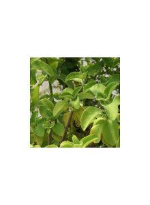 plantas-bio-falso-boldo