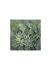 plantas-bio-funcho-maritimo