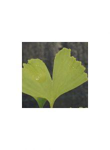 plantas-bio-gingko-biloba