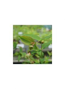 plantas-bio-hipericao-do-geres1