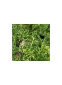 plantas-bio-hortela-crispada
