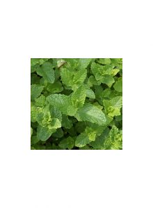 plantas-bio-hortela-vulgar