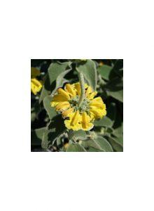 Marióilas - Flor Amarela