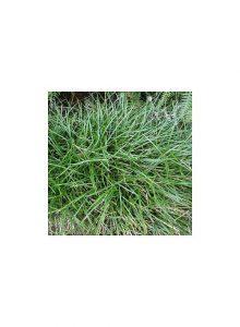 plantas-bio-ophiopogon