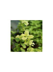 plantas-bio-oregao-dourado1