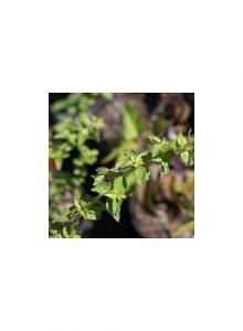 plantas-bio-oregao-vulgar