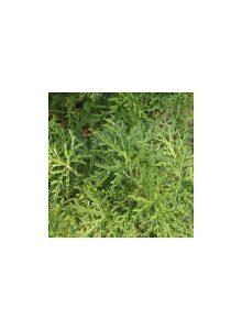 plantas-bio-pelargonium-radula