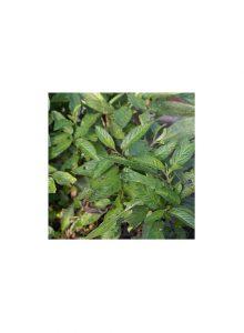 plantas-bio-pera-meloa