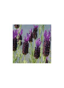 plantas-bio-rosmaninho-lavandula-pedunculata