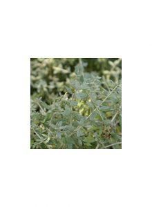 plantas-bio-sargaco-branco-teucrium-fruticans