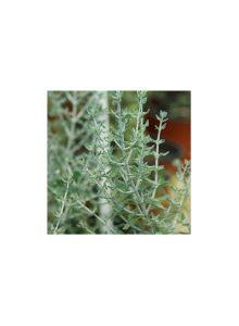 plantas-bio-tomilho-dos-gatos-teucrium-marum