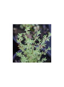 plantas-bio-tomilho-vulgar-thymus-vulgaris1