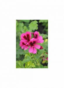 Pelargonium-Ashby