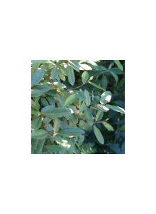 plantas-bio-eleagnus