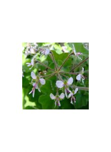 plantas-bio-pelargonium