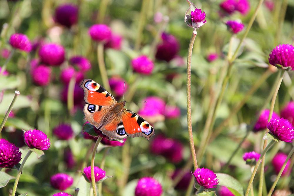 borboleta-perpetuas-roxas-cantinho-das-aromaticas