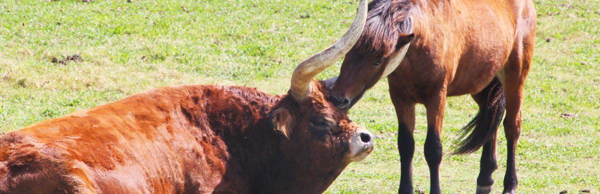 vaca-e-cavalo-agricultura-biologica-cantinho-das-aromaticas