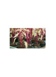 Amaranto-Amaranthus-caudatus
