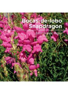 sementes-de portugal-bocas-de-lobo